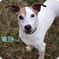 Jack Russell Terrier Mix Dog for adoption in Niagara Falls, New York - Walter