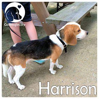 Beagle Dog for adoption in Novi, Michigan - Harrison