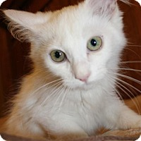 Domestic Longhair Kitten for adoption in South Saint Paul, Minnesota - Crystal