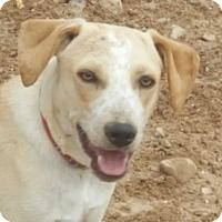 Australian Shepherd/Boxer Mix Puppy for adoption in Las Cruces, New Mexico - Karl