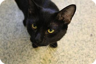 Domestic Shorthair Cat for adoption in Indianapolis, Indiana - Scrappy