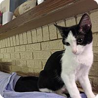 Adopt A Pet :: Beatrice - Cedar Rapids, IA