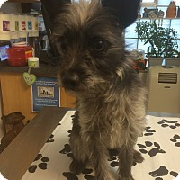 Wirehaired Fox Terrier/Yorkie, Yorkshire Terrier Mix Dog for adoption in St. Louis, Missouri - Clooney