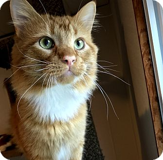 Domestic Mediumhair Cat for adoption in Hanna City, Illinois - Kenny