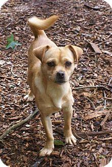 Pekingese/Chihuahua Mix Dog for adoption in Greenville, South Carolina - Bitsy