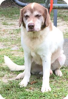 Retriever (Unknown Type) Mix Dog for adoption in Savannah, Georgia - Conelly