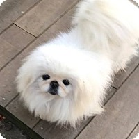 Pekingese Dog for adoption in Portland, Maine - Jackie