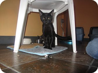 Domestic Shorthair Cat for adoption in Ridgway, Colorado - Wizard