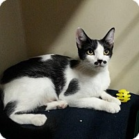 Domestic Shorthair Cat for adoption in Fairfax, Virginia - Charley