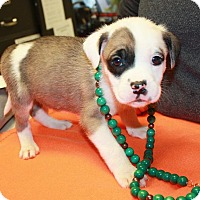 Adopt A Pet :: Ireland - available 1/21 - Sparta, NJ