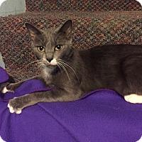 Adopt A Pet :: Mittens - Warrenton, MO