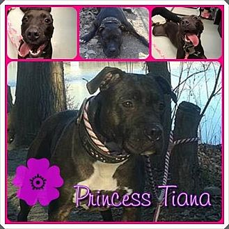 American Pit Bull Terrier/Terrier (Unknown Type, Medium) Mix Dog for adoption in Louisiana, Missouri - Tiana