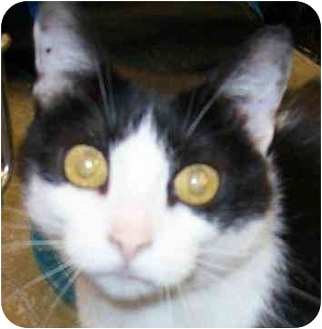 Domestic Shorthair Cat for adoption in Annapolis, Maryland - Felicity