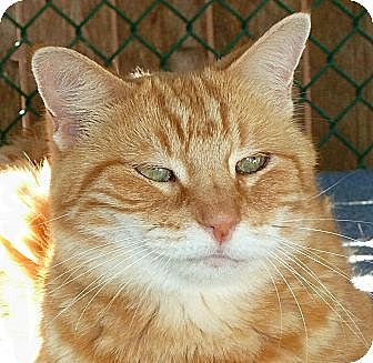 Domestic Shorthair Cat for adoption in Carmel, New York - O'Neil