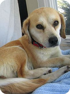 Labrador Retriever Mix Dog for adoption in Alexandria, Virginia - Tiffany