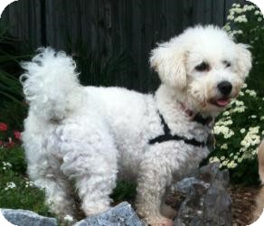 Bichon Frise Dog for adoption in South Amboy, New Jersey - Mrs. Howl