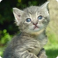 Adopt A Pet :: Leo - Stanford, CA