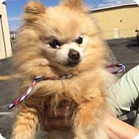 Adopt A Pet :: Wilma - Reno, NV
