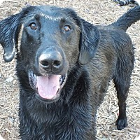Labrador Retriever/Great Dane Mix Dog for adoption in Minneapolis, Minnesota - Stitch