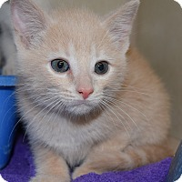 Adopt A Pet :: Tequilla Gold - Bucyrus, OH