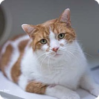 Domestic Shorthair Cat for adoption in Merrifield, Virginia - Boo Boo
