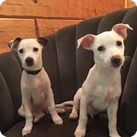Adopt A Pet :: Bonded Chihuahua/Jack Russell Pups Diana&Digger - Rowayton, CT
