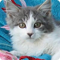 Domestic Longhair Kitten for adoption in Cuba, New York - Pickles