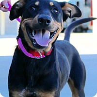 Rottweiler/Miniature Pinscher Mix Dog for adoption in Euless, Texas - Charlie formerly Kai