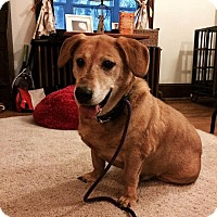Labrador Retriever/Corgi Mix Dog for adoption in Philadelphia, Pennsylvania - JACKPOT!