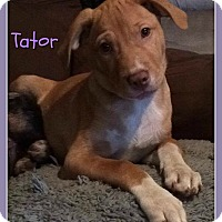 Adopt A Pet :: Tator - Elburn, IL