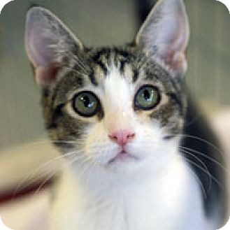 Domestic Shorthair Cat for adoption in Pacific Grove, California - Stardust