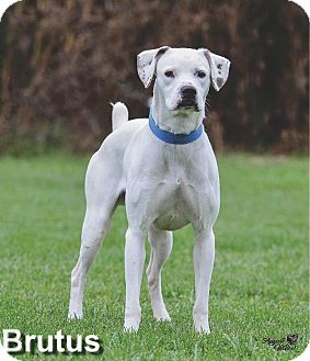 American Bulldog Mix Dog for adoption in Ottumwa, Iowa - Brutus