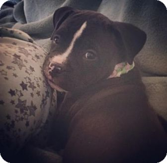 Pit Bull Terrier/Boxer Mix Puppy for adoption in Crestline, California - Charlotte