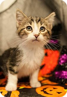 Domestic Shorthair Kitten for adoption in Muskegon, Michigan - Marty