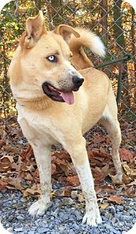 Husky Mix Dog for adoption in Allentown, Pennsylvania - Skunkie
