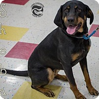 Adopt A Pet :: Sheba - Clarkston, MI
