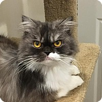 Persian Cat for adoption in Trenton, New Jersey - Baby Boy (and Boo ...