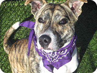 American Staffordshire Terrier Mix Dog for adoption in Cumming, Georgia - Jasmine