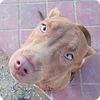Adopt A Pet :: Rudolph the rednosed puppy - Surprise, AZ
