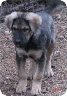 ... | Adopted Puppy | Colville, WA | German Shepherd Dog/Leonberger Mix