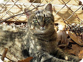 Domestic Mediumhair Cat for adoption in Alexandria, Virginia - Chica