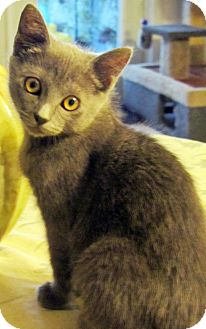 Domestic Shorthair Kitten for adoption in Seminole, Florida - Mina