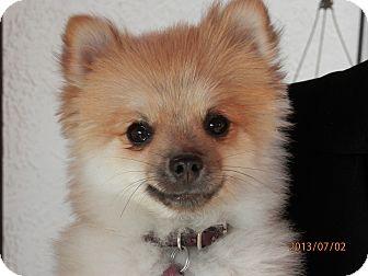 Shiba Inu Mix Dog for adoption in Colorado Springs, Colorado - Tucker