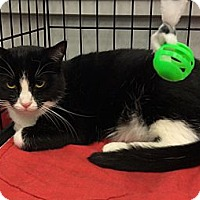 Adopt A Pet :: Checkers - Port Republic, MD