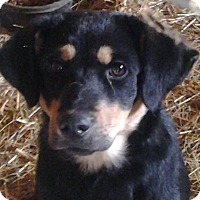 Adopt A Pet :: Haley - Upper Sandusky, OH