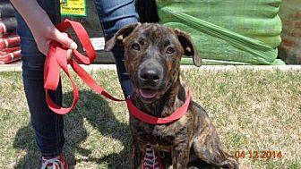 Hound (Unknown Type)/Labrador Retriever Mix Dog for adoption in Loganville, Georgia - TROOPER