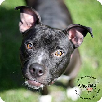 Pit Bull Terrier Mix Dog for adoption in Lyons, New York - Penny