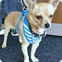 Toy Fox Terrier/Chihuahua Mix Dog for adoption in Phoenix, Arizona - Charlie