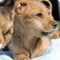 Adopt A Pet :: Staten Pup - Island - San Diego, CA