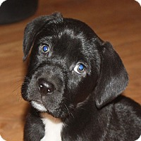 Adopt A Pet :: Baloo - PENDING, in Maine - kennebunkport, ME